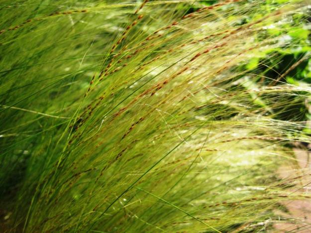 feathergrassseed