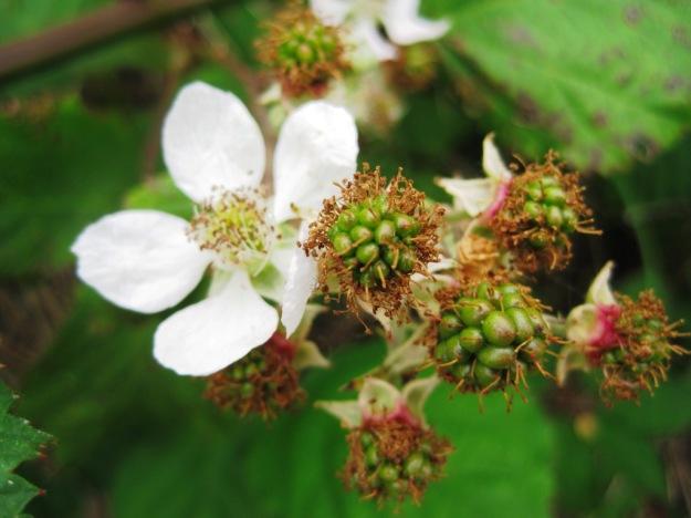 blackberrybabies