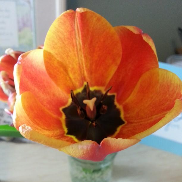 tulipbloom