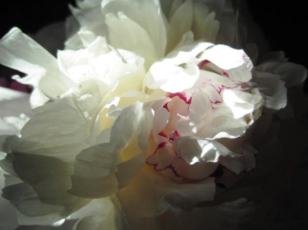 luminositypeony05small