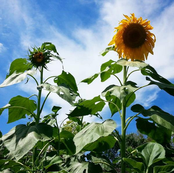 giantsunflower