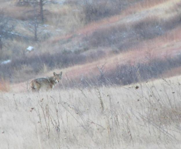 image by Eric, Lory State Park coyote