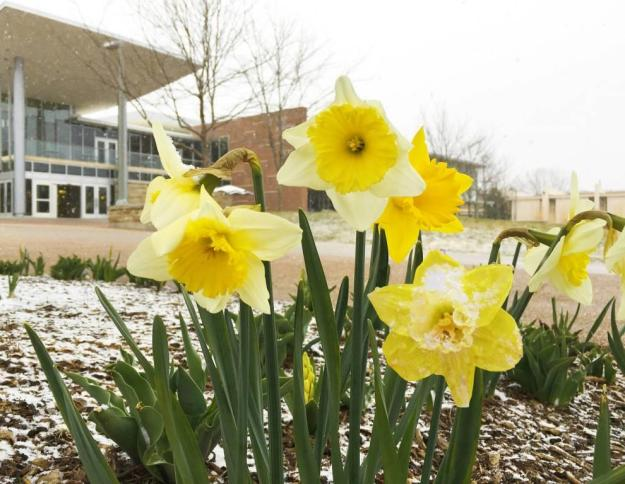 The contradiction of a Colorado spring: flowers blooming and snow falling, (image by Colorado State University).