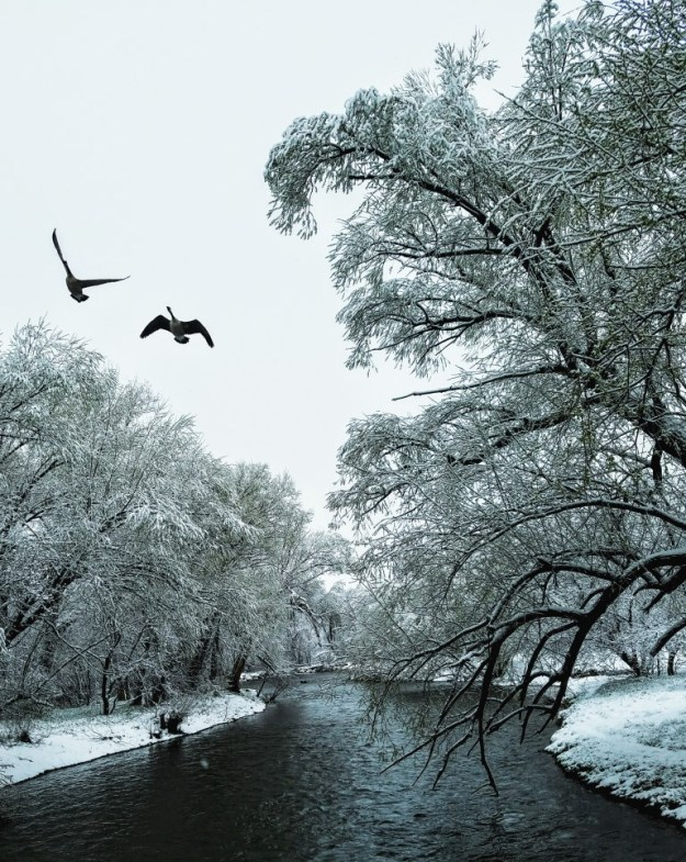 Geese over the Poudre River, image by Eric