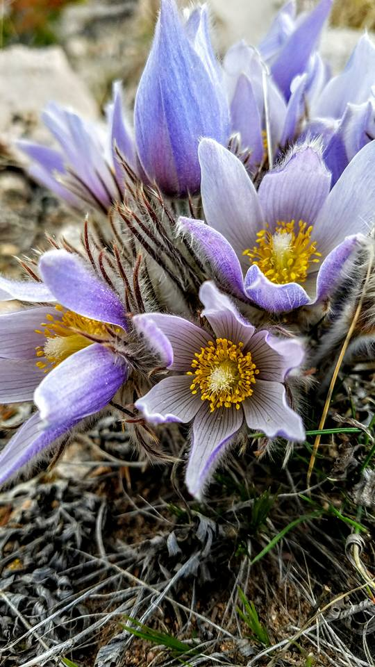 Pasque flowers, image by Eric