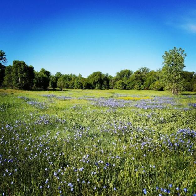 blueflowerfield