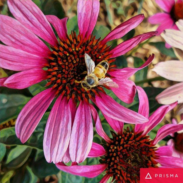 prismaconeflowerbee
