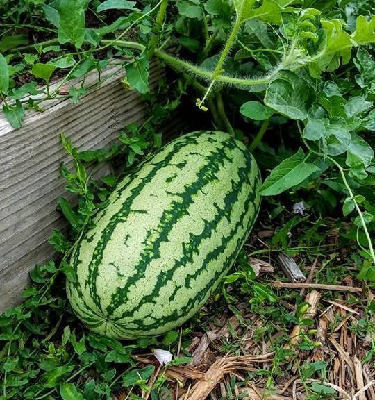 watermelon02