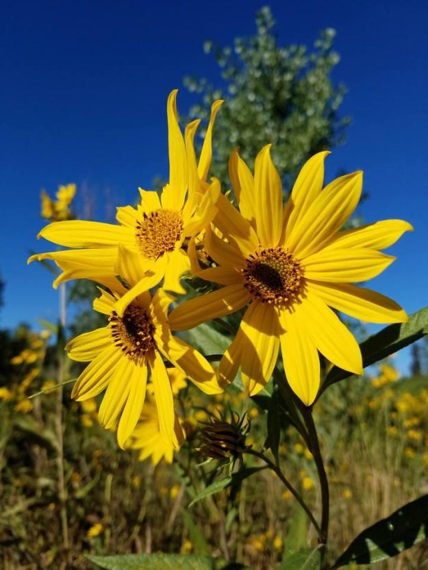 threesunflowers