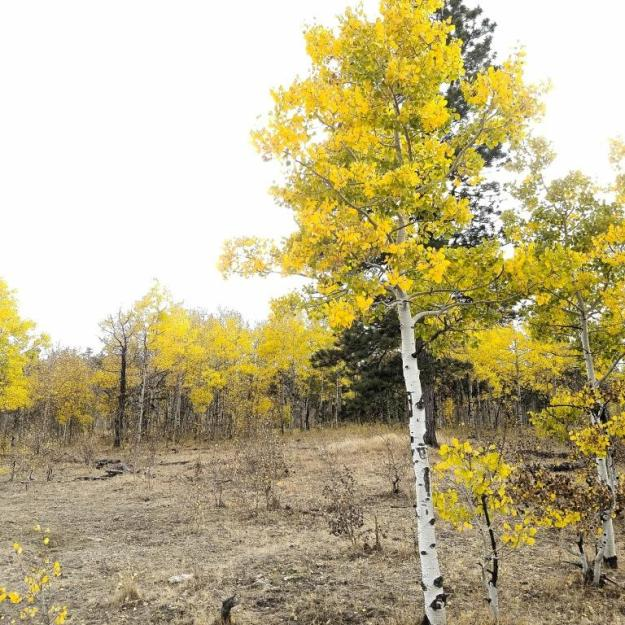 Aspens at Lady Moon Meadow
