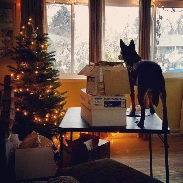 I use this folding card table to wrap Christmas presents. Ringo uses it to get a better view of the street.