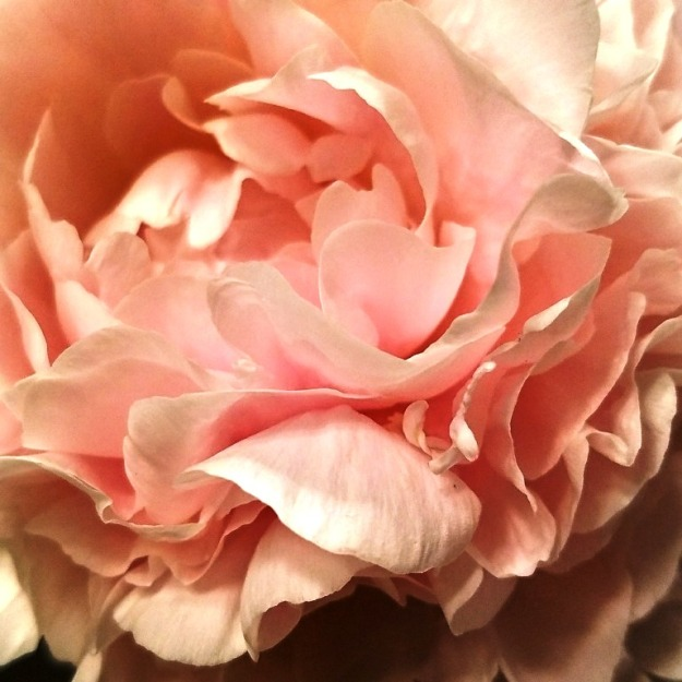 Close up of a pink peony flower