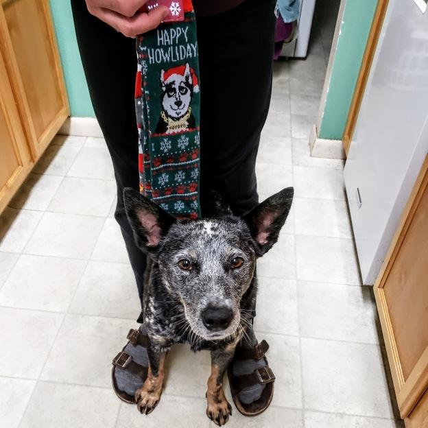 Ringo with Christmas socks